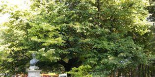 Teiul lui Eminescu implineste 460 de ani, dar este doar al saptelea cel mai batran arbore din Iasi