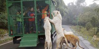 Gradina zoologica in care oamenii stau in cusca, iar animalele sunt libere: cum sunt momiti leii si ursii