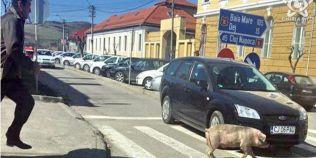 Instantaneu amuzant pe strazile Gherlei: un porc fugarit de stapan a traversat guitand pe zebra din centrul orasului