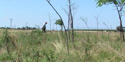 VIDEO Cum a disparut in trei ani o perdea de 20.000 de salcami plantati la marginea drumului.