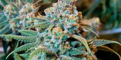 Cum a ajuns comercializarea semintelor de cannabis o afacere perfect legala in Romania. Legea prin care se pedepseste doar cultivarea plantei halucinogene